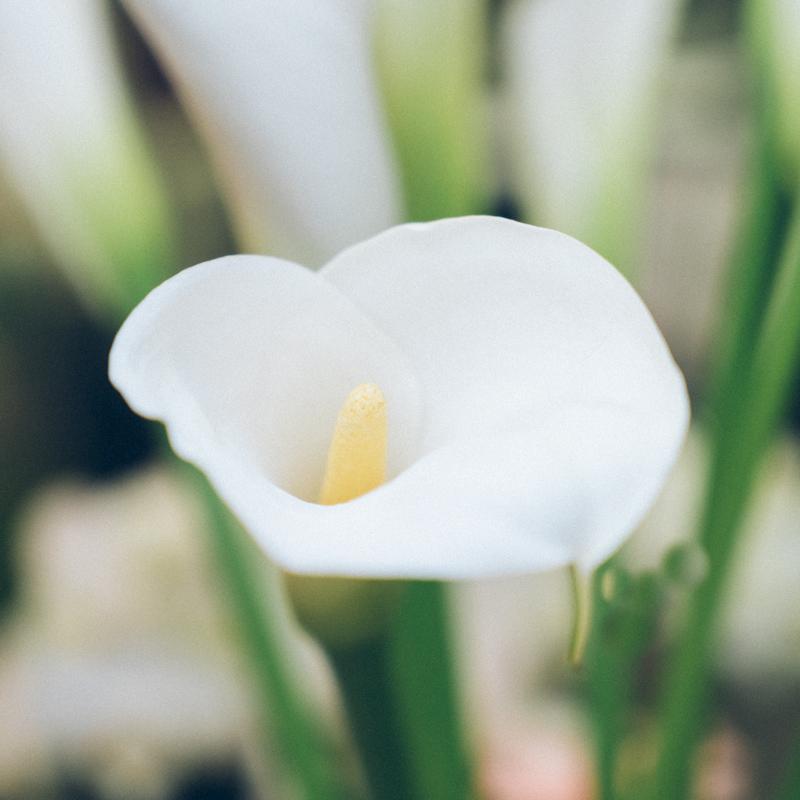 fiori la fontana; fiori; fioraia; cluster; cluster collective; fioraia; flower; florist; torino; matrimoni; emiliana celadon; piazza solferino; calle; fotografia; photo; still life;
